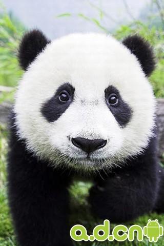 【主题美化】超萌大熊猫动态壁纸